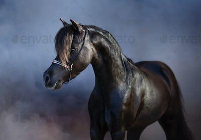 Black American miniature horse in smoke.