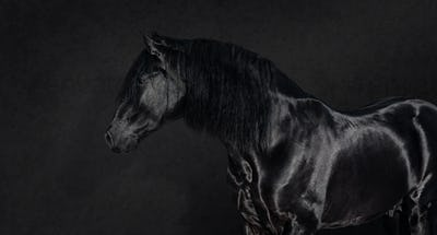 Black Pura Spanish stallion on dark background.