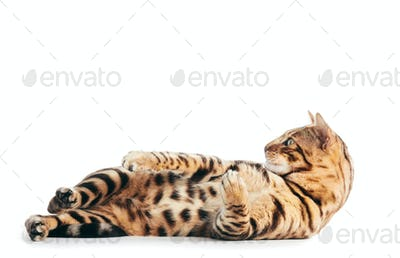 Bengal cat playing, isolated on white