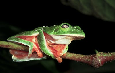 Morelet's Treefrog Sleeping in Belize