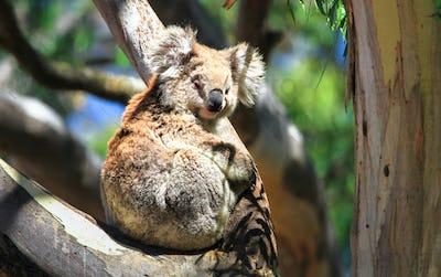 Koala Resting in a Eucalypt Tree in Australia