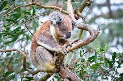 Koala Sitting in a Eucalptus Tree in Australia