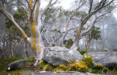 Snow Gum Trees in the Fog in Australia
