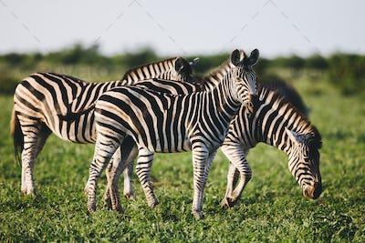 Three Common Zebras foraging on savanna