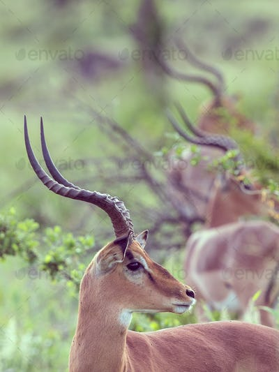 Impala group sideview