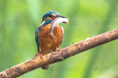 Common European Kingfisher with fish