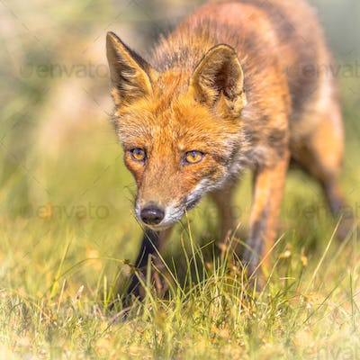 Red Fox sly portrait