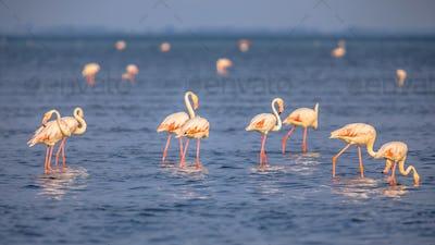 Group of Flamingos feeding