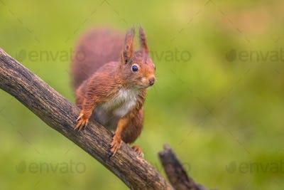 Red squirrel alert