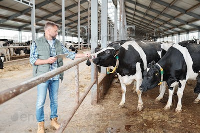 One of milk cows in cowshed touching hand of male worker standing by fence