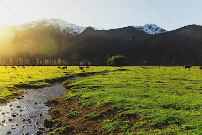 Argentine Chilean Patagonian landscape with freely grazing cows near a river.