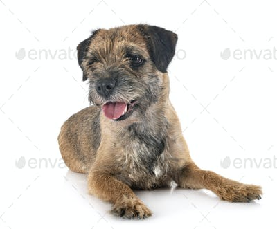 young border terrier