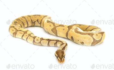 Ball python in studio