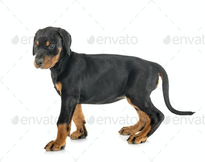 puppy Doberman Pinscher