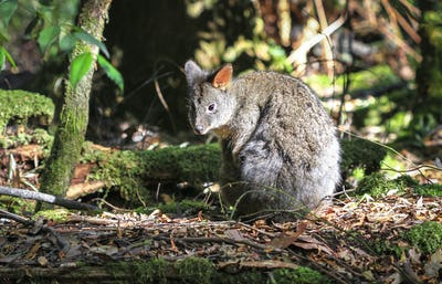 Tasmanian Pademelon on the Forest Floor