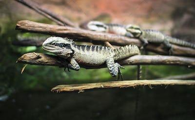 Australian Water Dragons Relaxing
