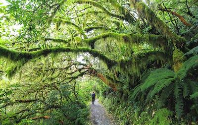 Hiker in Dense Temperate Rainforest in New Zealand