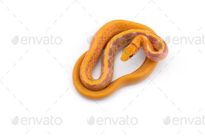 Copper-headed Trinket snake isolated on white background