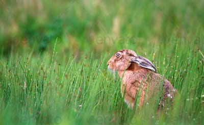 European Hare Among High Horsetail Plants in Scotland