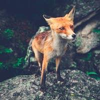 Little fox standing on the boulder. The Tatras