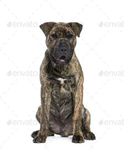 Mixed-breed dog, 4 months old, sitting in front of white background, studio shot