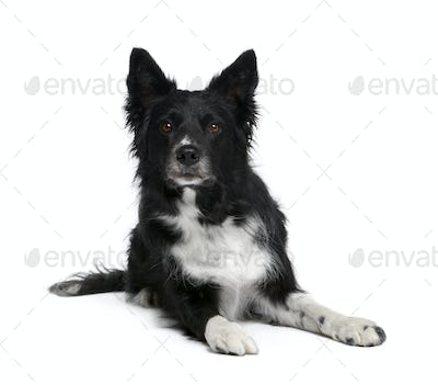 Border Collie, 6 years old, sitting in front of white background, studio shot