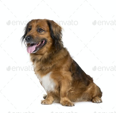 Bastard dog, 10 years old, sitting in front of white background, studio shot