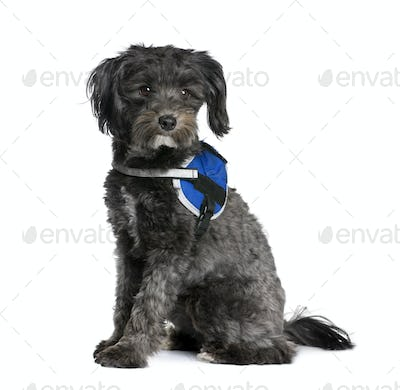 Bastard dog, 2 years old, sitting in front of white background, studio shot