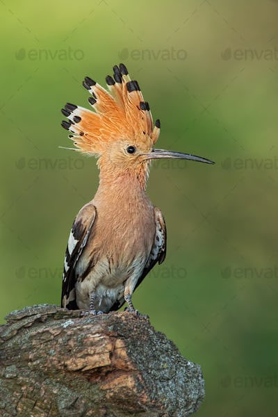 Hoopoe, upupa epops, sitting on a stump with open crest