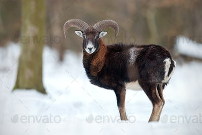 Wild sheep, mouflon, standing in deep snow in winter forest