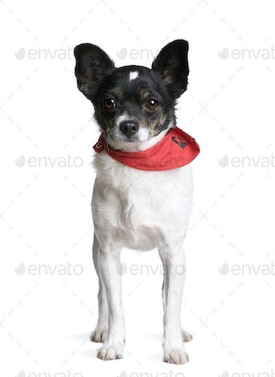 Bastard dog in red handkerchief standing in front of white background, studio shot