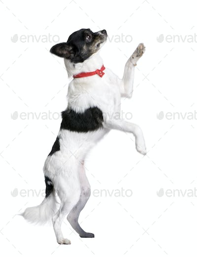Bastard dog in red handkerchief walking on hind legs in front of white background, studio shot