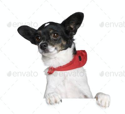 Bastard dog in red handkerchief sitting in front of white background, studio shot