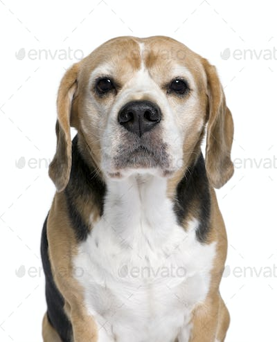 Beagle, 9 years old, sitting in front of white background, studio shot
