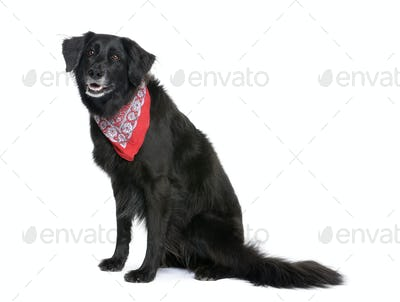 Bastard dog in red handkerchief, 7 years old, sitting in front of white background