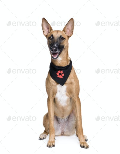 Bastard dog in handkerchief, 1 year old, sitting in front of white background