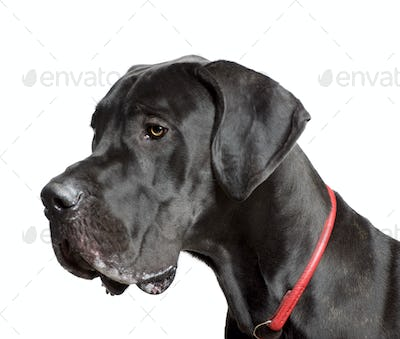 Great Dane, 11 months old, in front of white background, studio shot