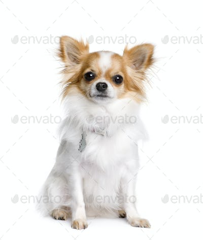 Chihuahua, 2 years old, sitting in front of white background, studio shot