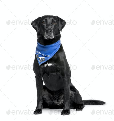 Bastard dog in handkerchief, 5 years old, sitting in front of white background