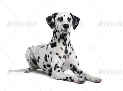Dalmatian, 15 months old, sitting in front of white background, studio shot