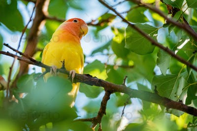 Rosy-faced lovebird perches on branch close up