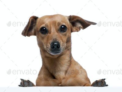 Portrait of bastard dog in front of white background, studio shot