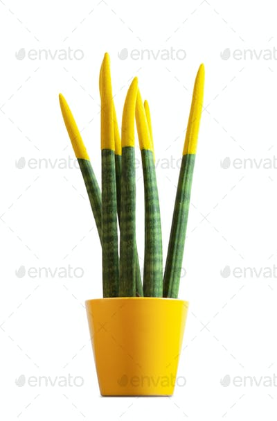 Sansevieria, velvet touchz with yellow color.