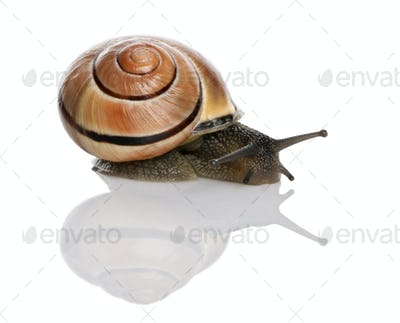 Garden snail in front of a white background, studio shot