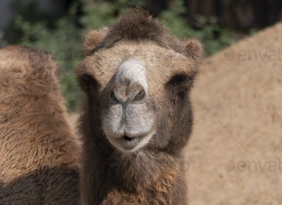 Portrait Of A Graceful Two-humped Camel Resting In The Shade