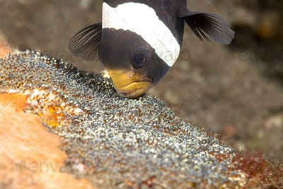 Clown fish cleaning eggs