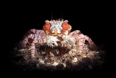 Boxer Crab on black background