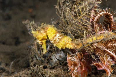 Yellow seahorse on reef