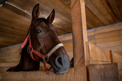Head of young brown purebred racehorse standing in front of camera inside barn