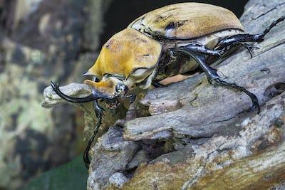 Hercules Beetle, Male, in Costa Rica